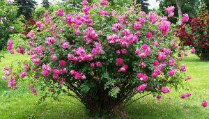 گز با عطر گل محمدی